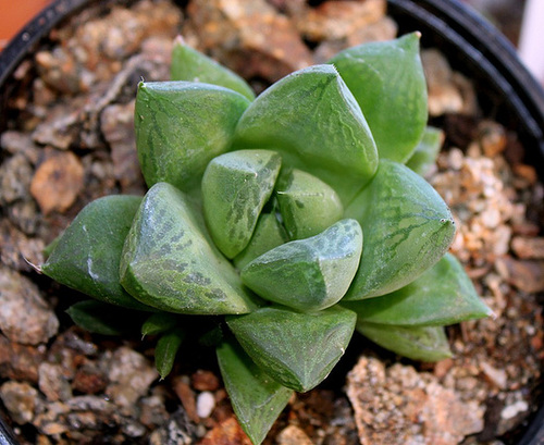 Haworthia cymbiformis (2) 2