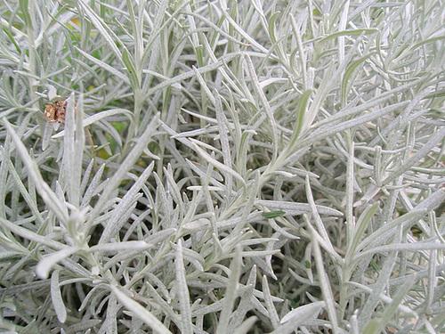 Helichrysum italicum P9213410