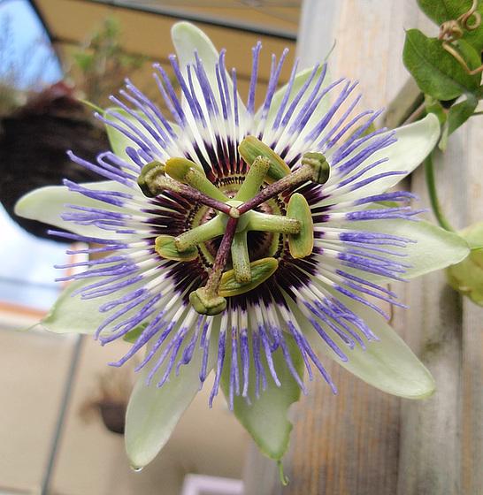 passiflora caerulea P9183390-2