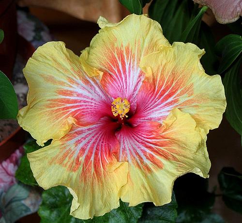 Hibiscus non rustiques: conseils de culture et floraisons 11408473.35fccd0c.500