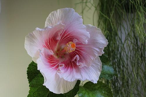 Hibiscus non rustiques: conseils de culture et floraisons 11408477.2fc90b2b.500