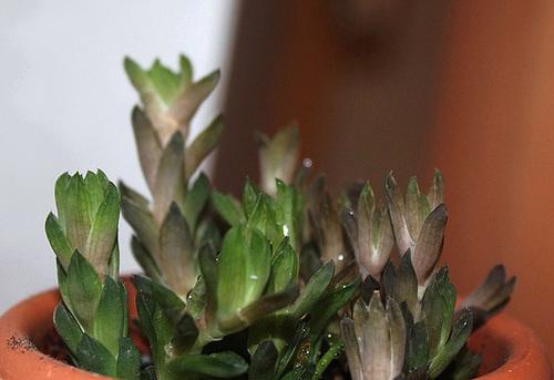 Haworthia cymbiformis ramosa