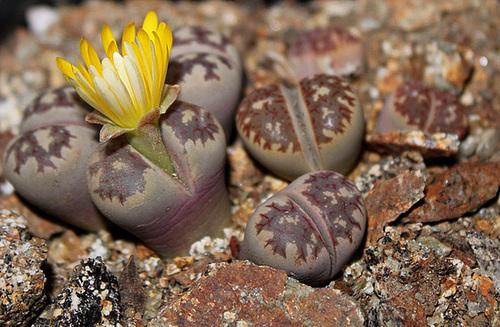 Lithops dorothea