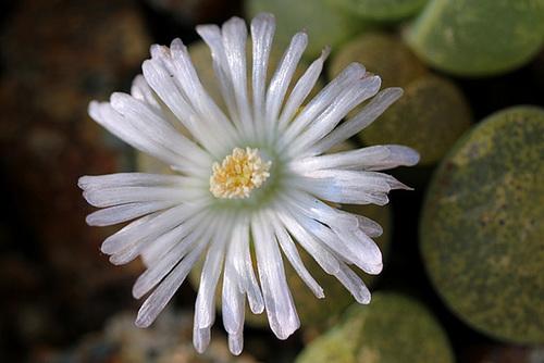 """Lithops lesliei """"albinica"""" C36 A"""