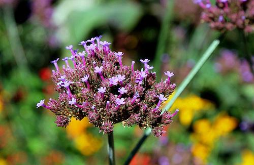 Verbena bonariensis - Inflorescence