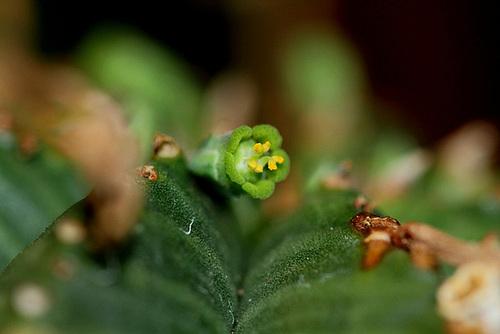Euphorbia meloformis - fleurs mâles