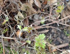 Geranium oxonianum 'katherine adele' DSC 0029