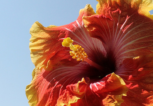 Hibiscus Georgia's Pearl