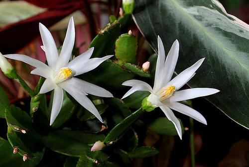 Rhipsalidopsis blanc