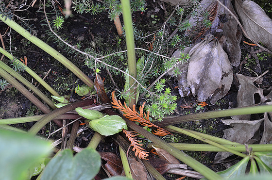 hellébore niger DSC 0047