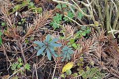 Euphorbia amygdaloide purpurea DSC 0049
