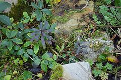 Euphorbia amygdaloide purpurea DSC 0050