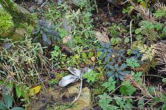 Euphorbia amygdaloide purpurea DSC 0051