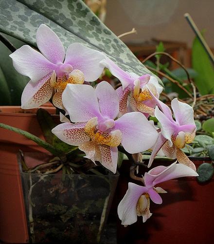 Phalaenopsis 'Philadelphia' x Schilleriana (2)
