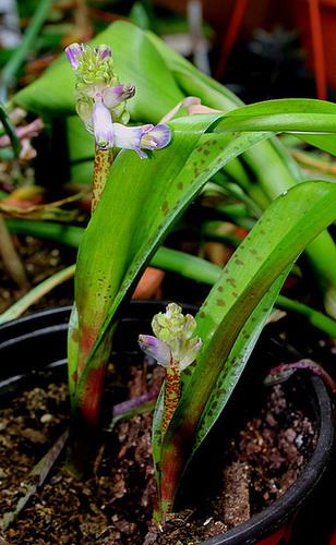 Lachenalia orchidioïdes (2)