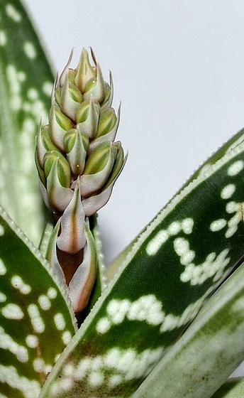 aloè variegata DSC 0202