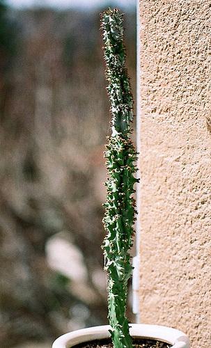 Euphorbia spectabilis-Monadenium spectabileab (2)