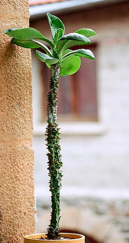 Euphorbia spectabilis-Monadenium spectabileab (3)