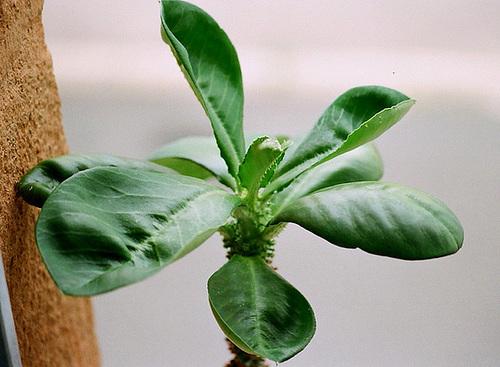 Euphorbia spectabilis-Monadenium spectabile feuilles 2