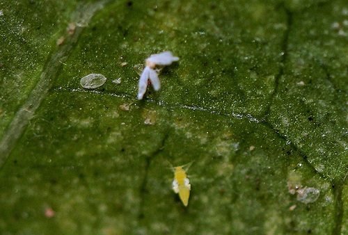 Aleurodes- métamorphose