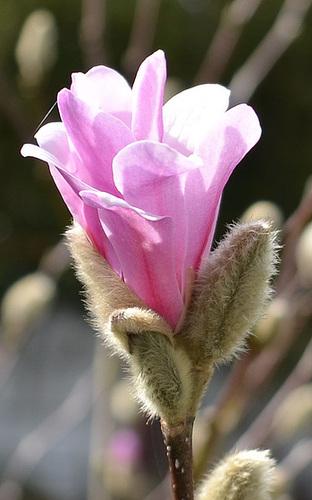 magnolia loebneri 'léonard messel' DSC 0061