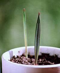 Bismarckia nobilis- 2 mois