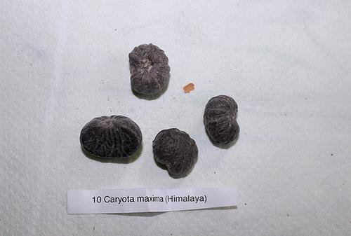 photos de fruits et graines de palmiers - Arecaceae 12005203.ac5422fa.500