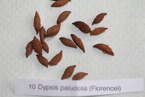 photos de fruits et graines de palmiers - Arecaceae 12005210.97fb60da.500