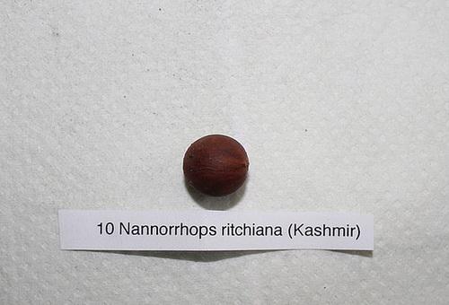 Nannorrhops ritchiana