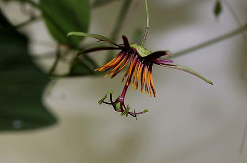 Passiflora 'Sunfire' - 1ere floraison