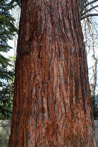 tronc de Sequoia