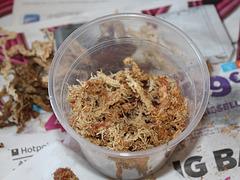 Rempotage de boutures de Dendrobium