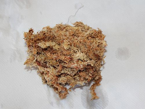 Rempotage de boutures de Dendrobium- essorage de la sphaigne
