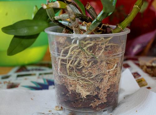 Rempotage de boutures de Dendrobium- remplissage du pot