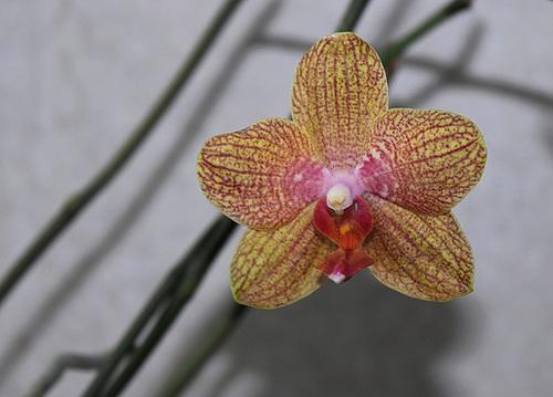 Phalaenopsis 'Coral Sea'