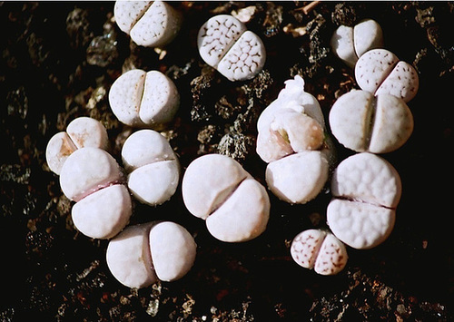 Lithops julii chrysocephala