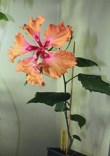Hibiscus : conseils de culture et floraisons - Page 2 12357270.aca89f77.500