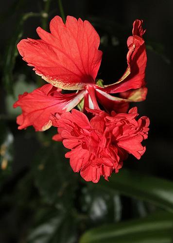 Hibiscus : conseils de culture et floraisons - Page 2 11967277.59c76349.500