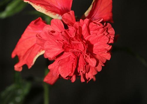 Hibiscus : conseils de culture et floraisons - Page 2 11967288.6e9d67f9.500