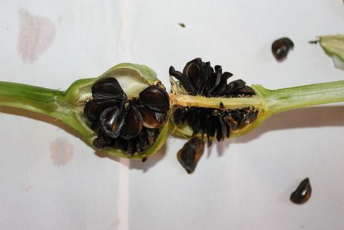 Hippeastrum papilio- ouverture de la capsule (5)