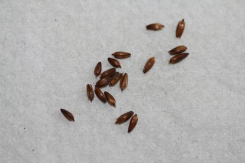 Rhodocoma capensis