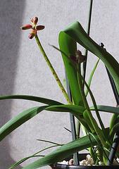 Lachenalia aloïdes- 1ere floraison de bulbilles