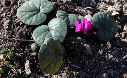 Petites bulbeuses du jardin Henri Vinay (4)