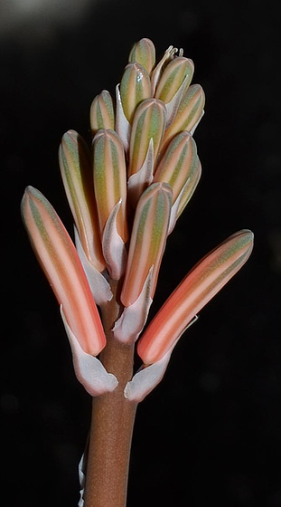 Aloe variegata DSC 0497