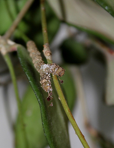 Hoya tsangii- pédoncules