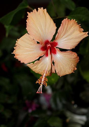 Hibiscus : conseils de culture et floraisons - Page 2 11979236.8bb4e974.500