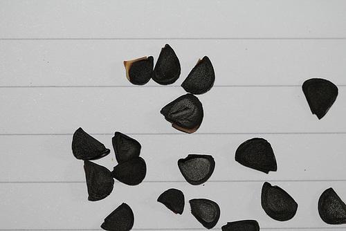 semis d'Agavacées : Agave, Yucca, Dasylirion etc... 12109291.076c2cf8.500