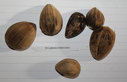 photos de fruits et graines de palmiers - Arecaceae 12109321.5cc40300.500