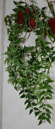 Hoya bella