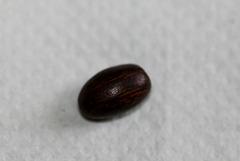 semis de Erythrina  12009555.f0830f3c.240